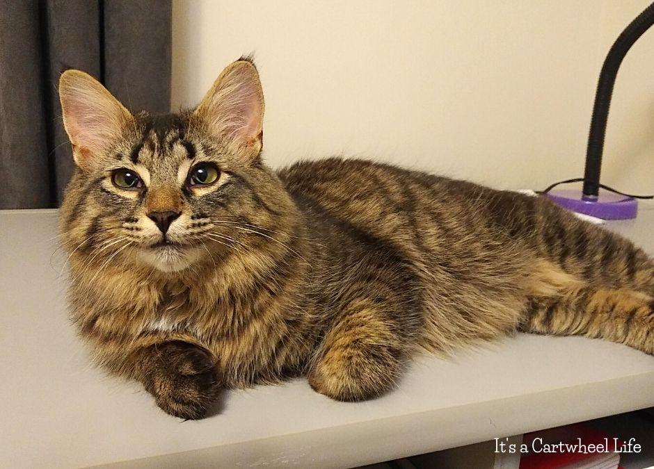 handsome cat on desk