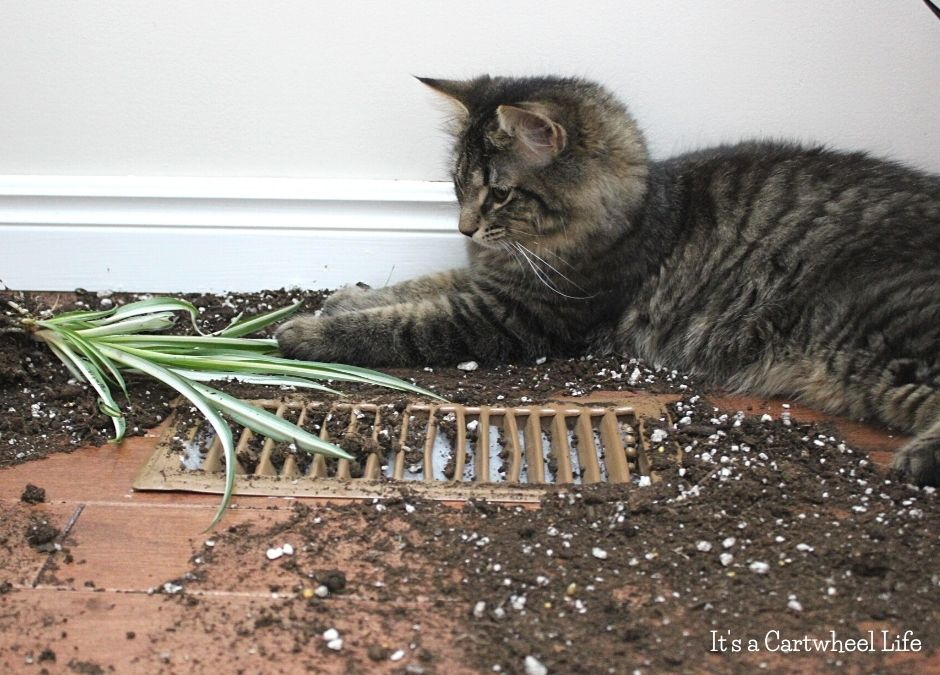cat in dirt and damaged plant