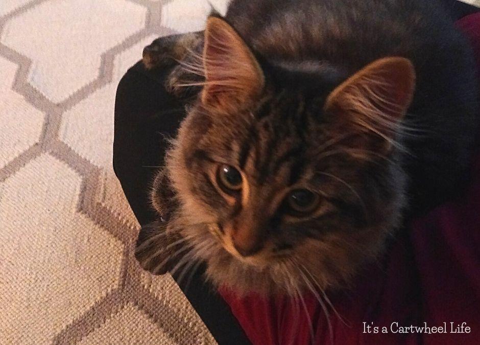 kitten on lap
