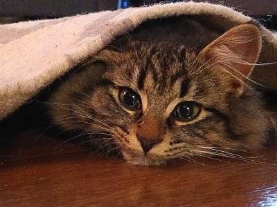 cat under carpet