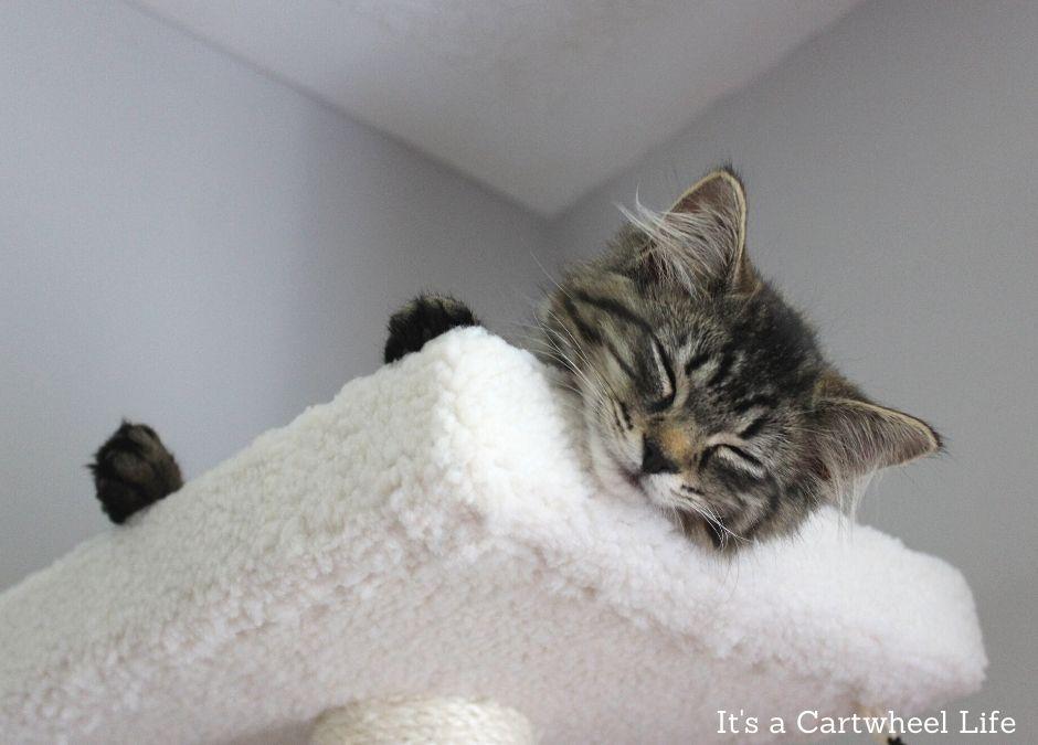 kitten sleeping on top cat tree platform