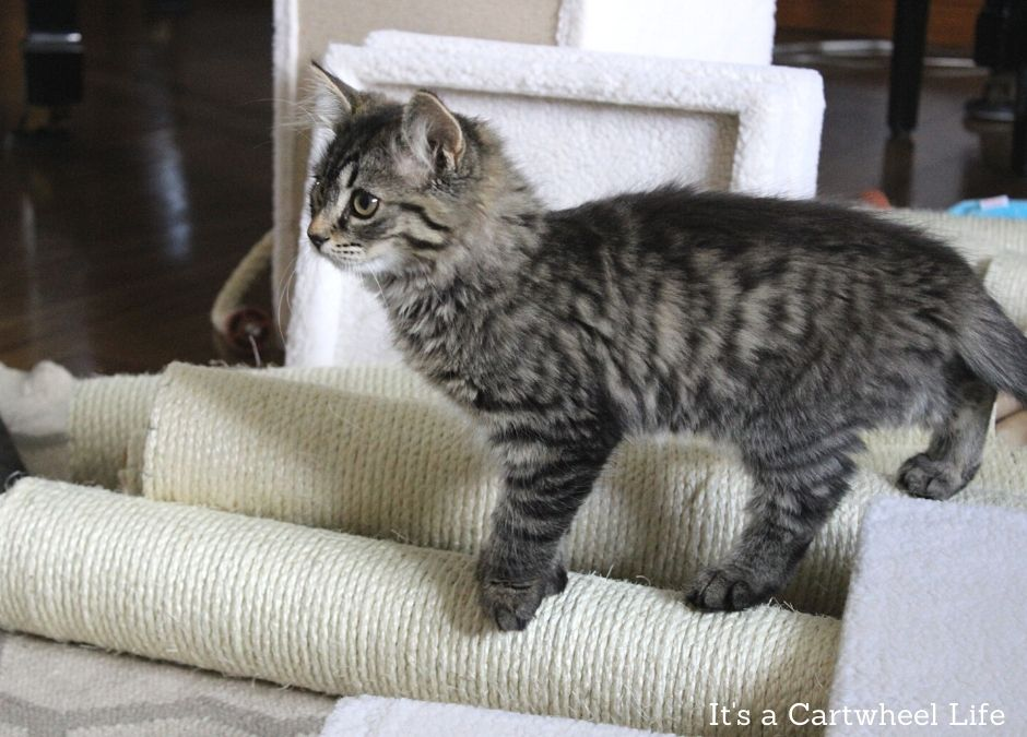 kitten inspecting cat tree parts